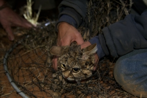 A black-footed cat captured in a net. Photo by Holly Ganz.