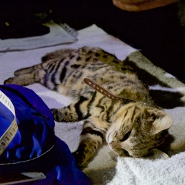 A black-footed cat sedated and fitted with a radio collar (photo by Holly Ganz).